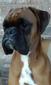 boxer dog european 506 best puppy doggies images on pinterest boxer love boxer