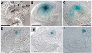 arabidopsis glauce promotes fertilization independent endosperm