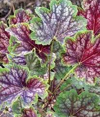 Learn More About Full Sun by Monrovia U0027s Peppermint Spice Coral Bells Details And Information
