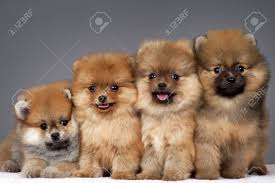 four puppies of the purebred pomeranian stock photo picture