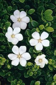 Gardenias by White Gem Gardenia Monrovia White Gem Gardenia
