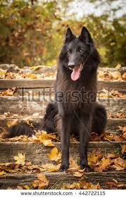 belgian sheepdog laekenois belgian groenendael shepherd stock images royalty free images