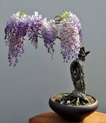 bonsai saule pleureur bonsai wisteria κηπουρική pinterest bonsaï plantes et glycine