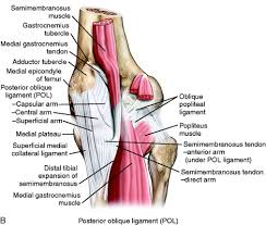 Knees Anatomy Medial And Anterior Knee Anatomy Musculoskeletal Key