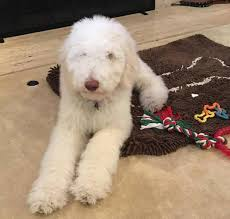 Mud Rugs For Dogs Our Recommended Puppy Supply List Aussiedoodle And Labradoodle