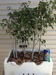 bonsai australian native plants ausbonsai view topic sell swap pre bonsai