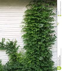 climbing ivy vines royalty free stock photos image 5849208