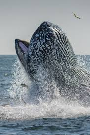 680 best ocean whale love images on pinterest humpback whale