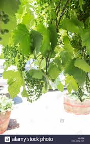 young grape vines stock photos u0026 young grape vines stock images