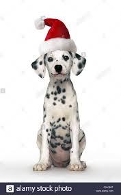 dalmatian dog puppy wearing santa hat sitting stock photo