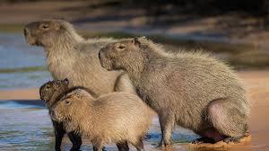 capybara san diego zoo animals u0026 plants