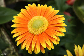 flowers canada flower yellow orange flowers photography canada