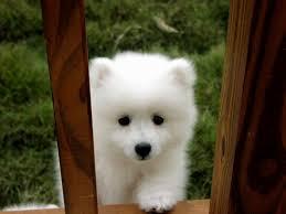 american eskimo dog tattoo american eskimo toy puppies cute pinterest toy