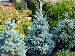 baby blue spruce beautiful conifer another