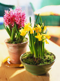 easy flowers to grow indoors grow bulbs for indoor flowering in 4 easy steps tips that make