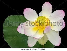 Lotus Flower Bloom - sacred lotus flower bloom stock photo royalty free image