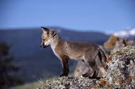 baby wolf picpetz wolf