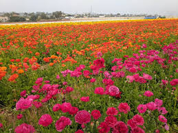 carlsbad flower garden 8 reasons to check out the carlsbad flower fields