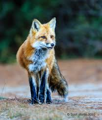 the fox u0026 wolf of algonquin park scott martin photography