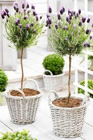 Topiaries Plants - simple pretty lavender topiaries garden pinterest lavender