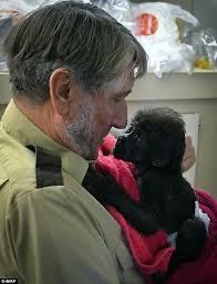 affenpinscher in texas cincinnati zoo caretaker laments killing of harambe the gorilla
