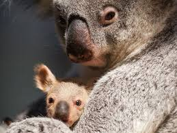 25 interesting facts koalas ideas