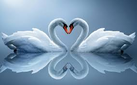 images of love couple of swans 4235049 2560x1600 all for desktop