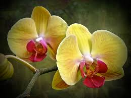 moth orchid yellow moth orchid phalaenopsis photograph by nature