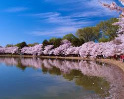 Cherry Blossom Facts by April 2017 Festivals And Events In The Washington Dc Area