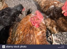 hen pecked stock photos u0026 hen pecked stock images alamy