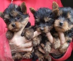 Seeking Teacup Teacup Yorkie Puppies For Sale Text Only To My Cell