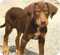 australian shepherd lab mix puppy doberman pinscher australian shepherd mix