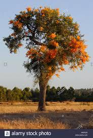 the western australian christmas tree nuytsia floribunda stock