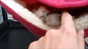 Hammocks For Sleeping 3 Little Rats Sleeping In A Hammock Cute Rate Video Youtube
