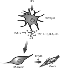 regulator of g protein signaling 10 negatively regulates nf κb in