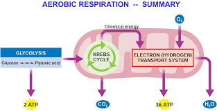 aerobic respiration google search agr 180 pinterest