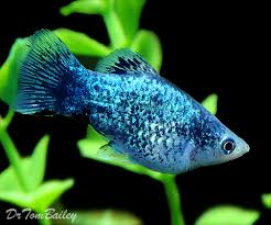 information about platys how to keep and breed platy fish in