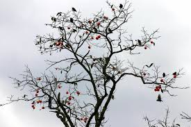 file andong hahoe folk persimmon tree and birds 01