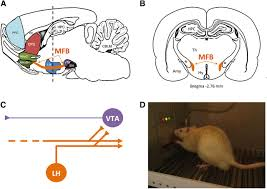 Anatomy Of Rat Brain Intracranial Self Stimulation To Evaluate Abuse Potential Of Drugs