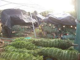buy christmas trees u2013 buy bulk christmas trees from bishop and mathews