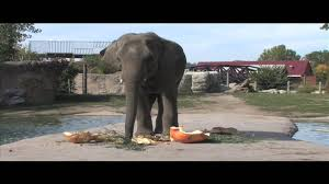denver zoo asian elephant pulverizes giant pumpkin youtube