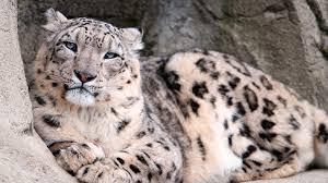 snow leopard desktop background wallpapers 8224 amazing wallpaperz