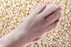 why do your dog u0027s feet smell like popcorn mental floss