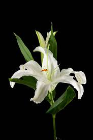 Casablanca Lily Casablanca Lily Pictures Images And Stock Photos Istock