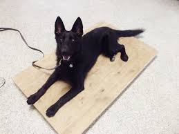belgian shepherd epilepsy uncategorized u2013 the working canine