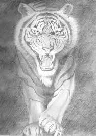 tiger sketches pencil pencil art drawing