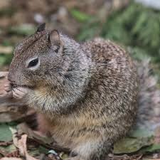 California wild animals images California ground squirrel lindsay wildlife experience jpg