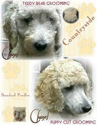 standard poodle hair styles countryside standard poodles grooming