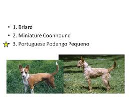 afghan hound group hound group 1 greyhound 2 afghan hound 3 borzoi ppt download