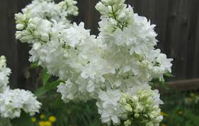 free images blossom white flower green closeup flowers